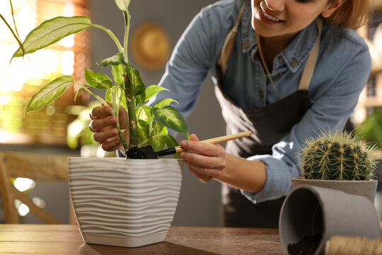 Young woman potting Dieffenbachia plant at home, closeup. Engaging hobby