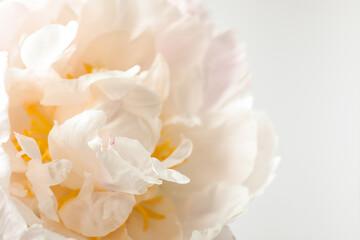 Beautiful blooming white peony on light background, closeup
