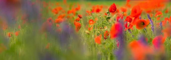Foto op Canvas Poppy Field of red poppy flowers in summer
