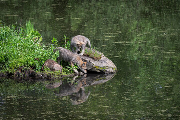 Grey Wolf (Canis lupus) Pups Sniff About on Pond Island Rock Summer