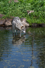 Grey Wolf (Canis lupus) Wades Into Water Watched by Pup on Island Summer