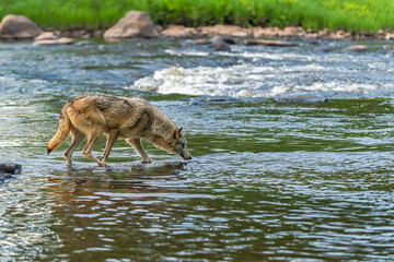 Grey Wolf (Canis lupus) Head Down at River Rapids Summer
