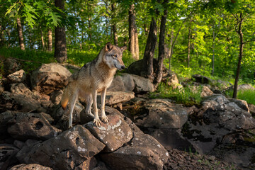 Grey Wolf (Canis lupus) Stands on Rocks at Edge of Forest Summer