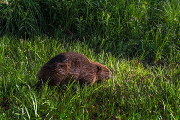 Adult Beaver (Castor canadensis) Moves to Right in Grass Summer
