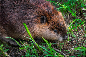 Close Up of Adult Beaver (Castor canadensis) Sitting in Grass Summer