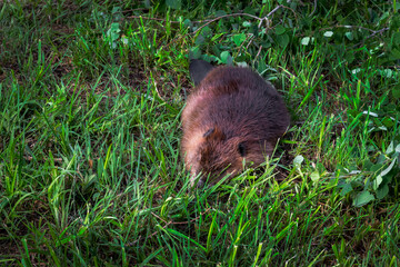 Adult Beaver (Castor canadensis) Takes a Snooze in the Grass Summer