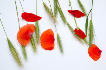 Photo sur Plexiglas Poppy ears of young rye and poppy petals on a white background