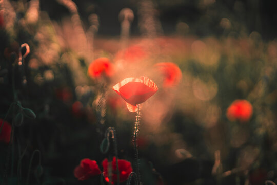 Red poppies blooming in the field in the light of the setting sun. June Poppies.