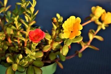 Obraz Żółty i czerwony kwiat - fototapety do salonu