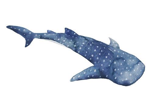 ジンベイザメ 水彩イラスト