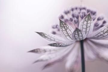 Obraz Astrantia - delikatny kwiat - fototapety do salonu