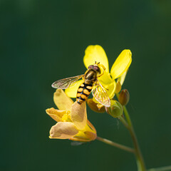 Close up View of a bee on yellow flower with blurred background