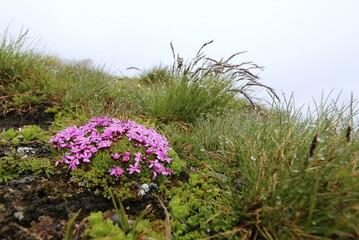 Alpenblümchen mit rosa Blüten.