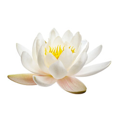 Garden Poster Lotus flower White water lily or lotus isolated on white background