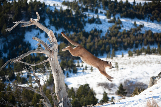 Mountain Lion in Montana Wilderness
