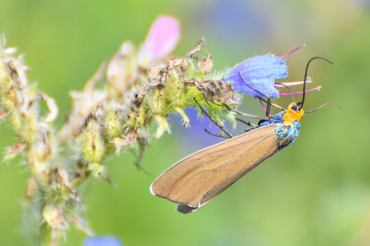 Virginia Ctenucha moth feeding on Bugloss flower