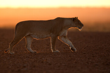 Wall Mural - Lioness walking in the early morning at Masai Mara