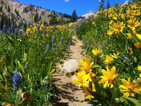 Blue lupines, Red Paintbrush and Yellow sunflowers bloom in the Wasatch Mountains in summer near Salt Lake City, Utah