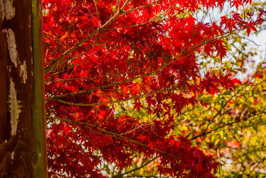 Sugar maple tree with beautiful red leaves