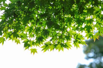 高取城跡の青紅葉-5月