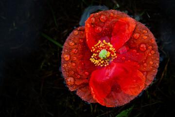 Fototapeta Kwiat maku na ciemnym tle z kroplami wody na płatkach. obraz