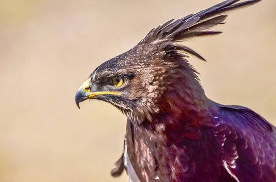 Long-Crested Eagle surveys the landscape