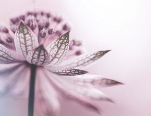 Obraz Astrantia- różowe kwiaty - fototapety do salonu