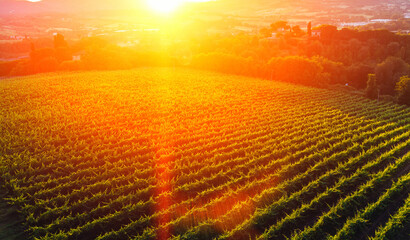 Aluminium Prints Vineyard Aerial view of beautiful rows of vineyards in picturesque valley at sunset of golden sun. Growing grapes for wine production in homestead entrepreneur in Tuscany. Favorable climate in wine region