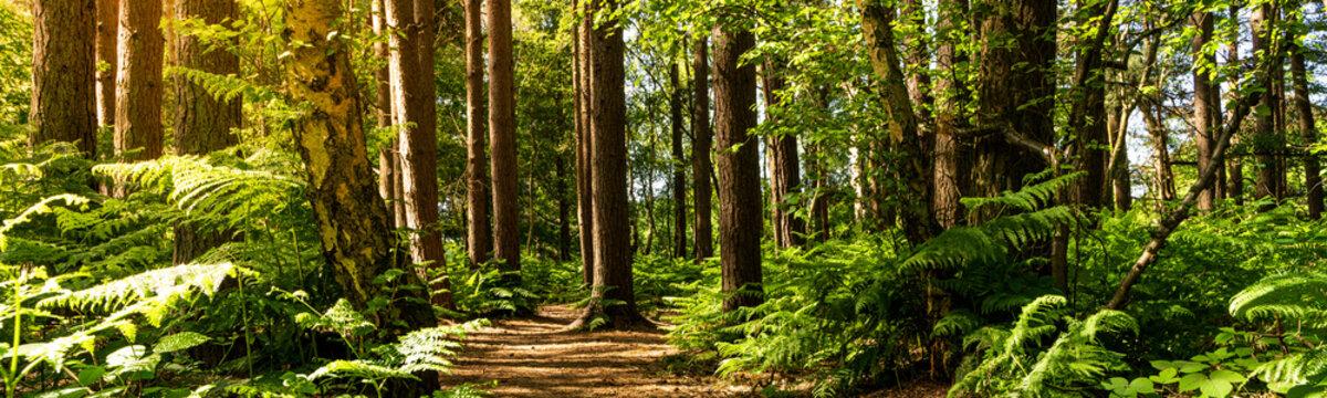 Forest undergrowth with Bracken