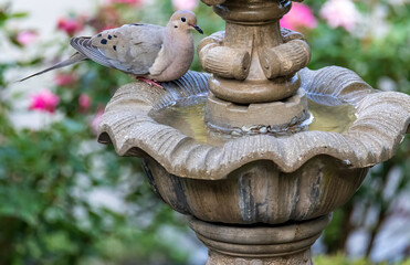 Mourning Dove by a Fountain in a Garden in SummerMourning Dove by a Fountain in a Garden