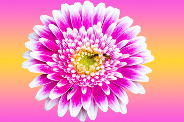 Closeup of a Beautiful Pink and White Gerbera Daisy Flower in Summer