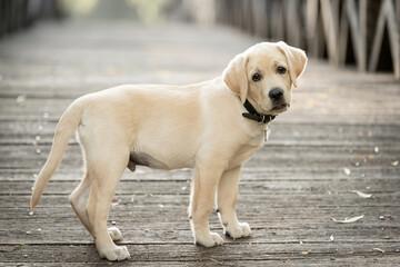 Adorable labrador dog on the wooden bridge