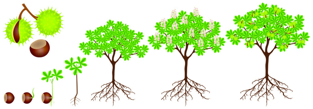 Cycle of growth of horse chestnut plant on a white background.
