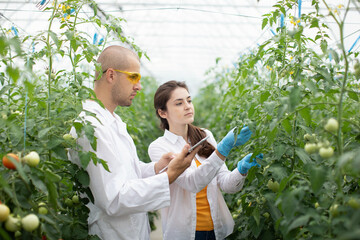 Male and female scientists farmers inspect the growth of hydroponic tomato plants Wall mural