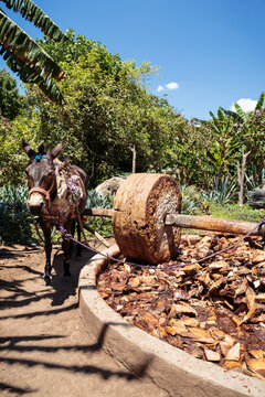 Vertical view of roasted hearts of agave plants or piñas crushed by grinding mill with stone wheel pulled by working donkey or mule. Distillation of Mezcal, alcoholic beverage making-process