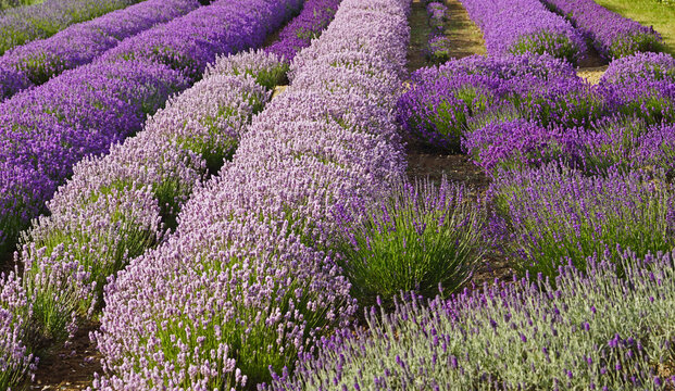 Norfolk Lavender Farm