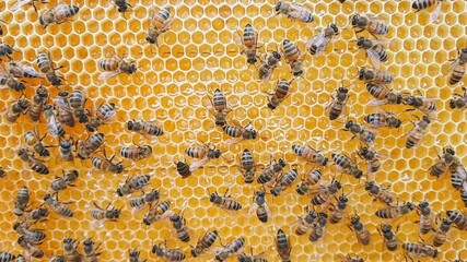 Wall Mural - Slow motion video of bees. Video shot at an organic apiary.