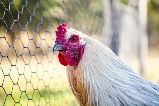 Silver white rooster in chook yard