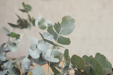 Eucalyptus gum leaves, native plants