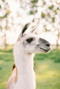 portrait of white llama