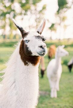 portrait of white llama with blue eyes