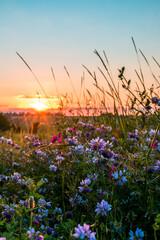 Beautiful wildflowers on a green meadow. Warm summer evening