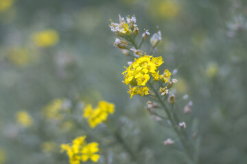 Aurinia - yellow flowers in the spring garden, close up view