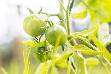 fruits - unripe green tomatoes on the garden, close up view