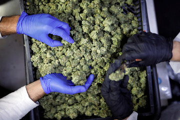 Employees sort medical cannabis flowers at Pharmocann, an Israeli medical cannabis company in northern Israel