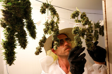 An employee looks at medical cannabis flowers at Pharmocann, an Israeli medical cannabis company in northern Israel