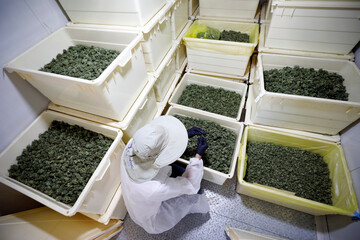 An employee works near boxes of medical cannabis flowers at Pharmocann, an Israeli medical cannabis company in northern Israel