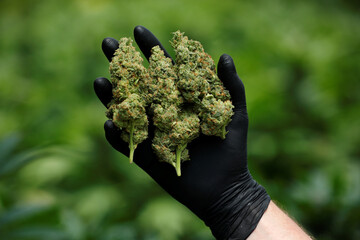 An employee holds freshly-harvested medical cannabis flowers at Pharmocann, an Israeli medical cannabis company in northern Israel