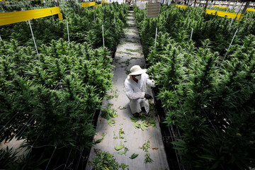 An employee tends to medical cannabis plants at Pharmocann, an Israeli medical cannabis company in northern Israel