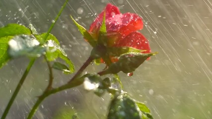 Fotoväggar - Beautiful Rose with rain drops. Beauty fresh pink with orange color rose flower growing in summer garden and blooming. Watering plants, rain, raindrops on petals. 4K UHD video slow motion.